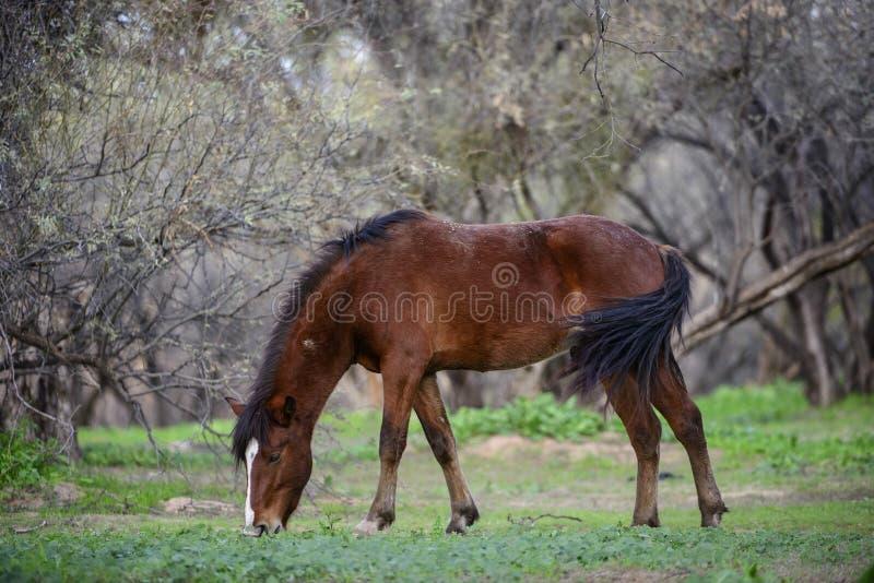Αλατισμένο άγριο άλογο ποταμών στο δάσος στοκ φωτογραφίες
