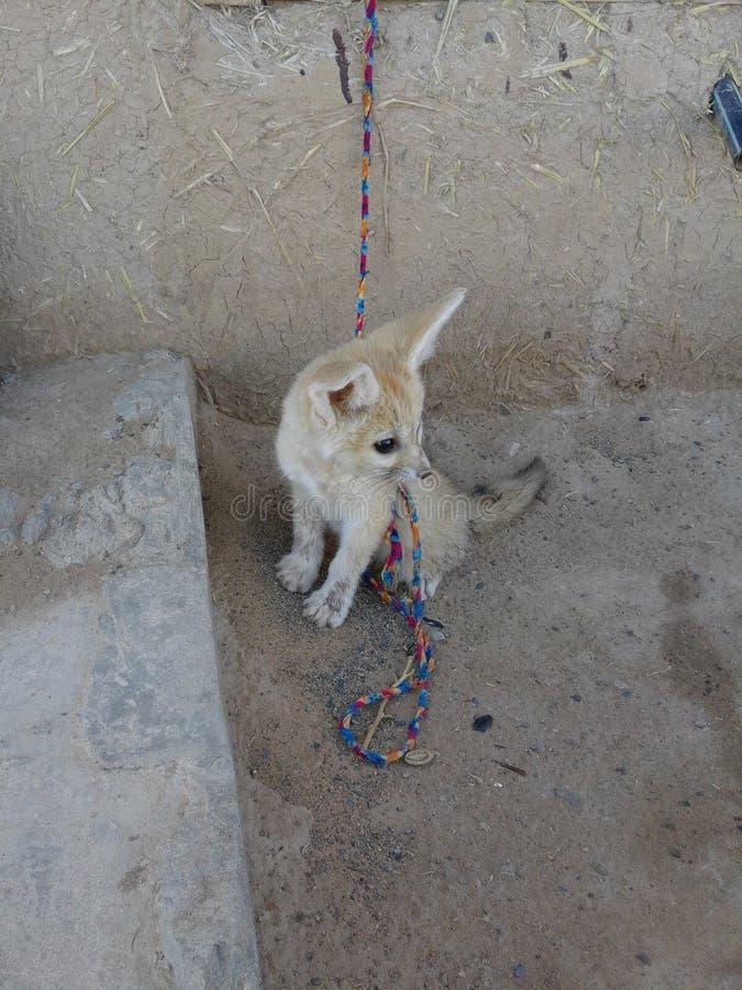 Αλεπού ερήμων στοκ φωτογραφία με δικαίωμα ελεύθερης χρήσης
