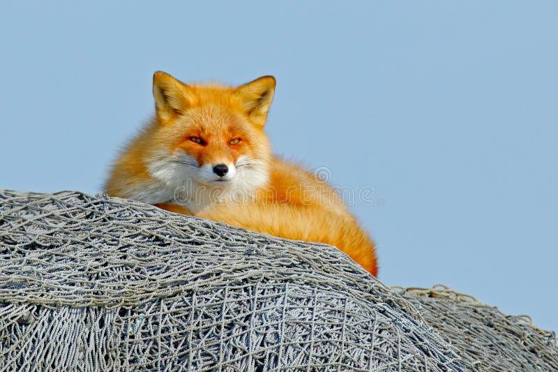 Αλεπού που βρίσκεται στο δίχτυ του ψαρέματος με το μπλε ουρανό Κόκκινη αλεπού, Vulpes vulpes, όμορφο ζώο στο βιότοπο φύσης, που ε στοκ φωτογραφίες με δικαίωμα ελεύθερης χρήσης