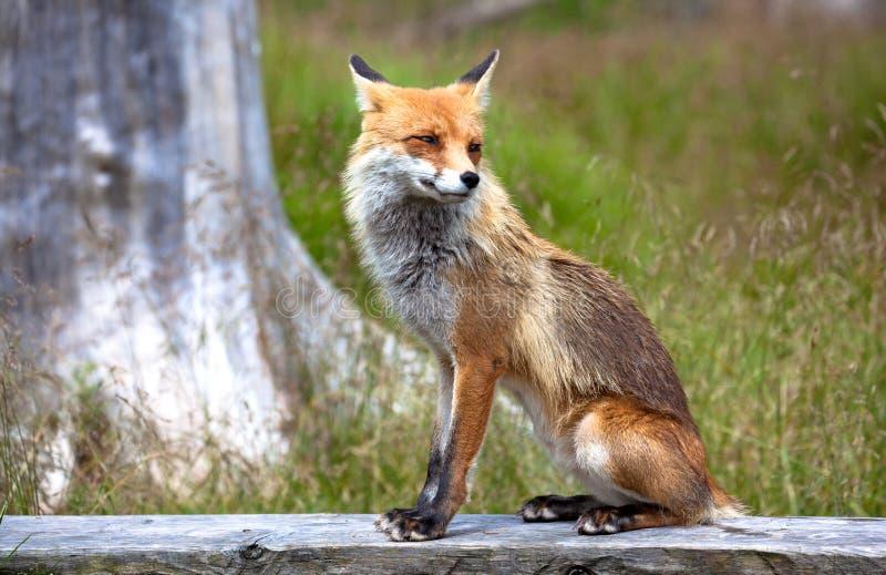 Αλεπού στο δάσος σε υψηλό Tatras, Σλοβακία στοκ εικόνα με δικαίωμα ελεύθερης χρήσης
