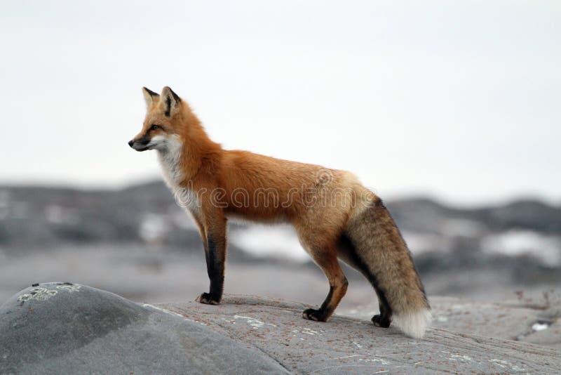Αλεπού στο βράχο στοκ φωτογραφίες