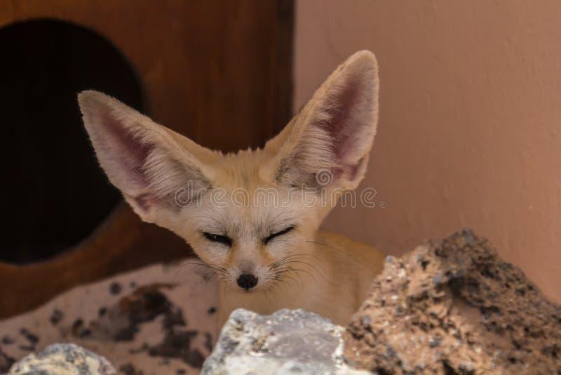 Αλεπού Fennec στοκ εικόνες