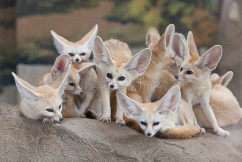 Αλεπού Fennec στοκ εικόνες με δικαίωμα ελεύθερης χρήσης
