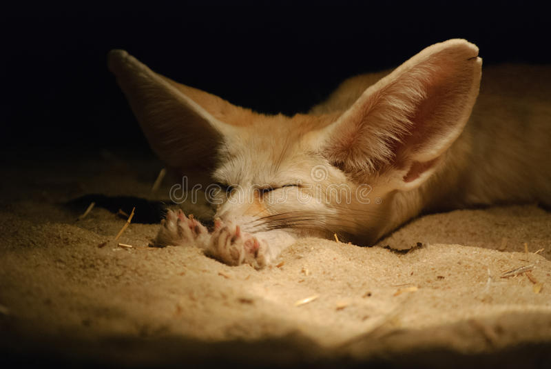Αλεπού Fennec στοκ εικόνα με δικαίωμα ελεύθερης χρήσης