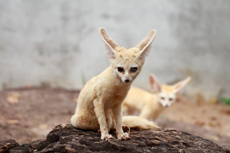 Αλεπού Fennec στοκ φωτογραφίες με δικαίωμα ελεύθερης χρήσης