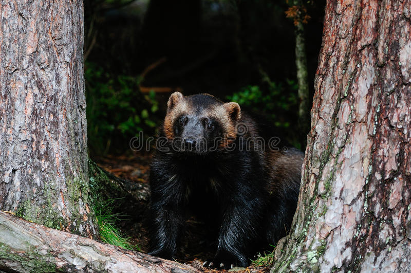 Αδηφάγος σε ένα δάσος, Σουηδία στοκ φωτογραφία με δικαίωμα ελεύθερης χρήσης