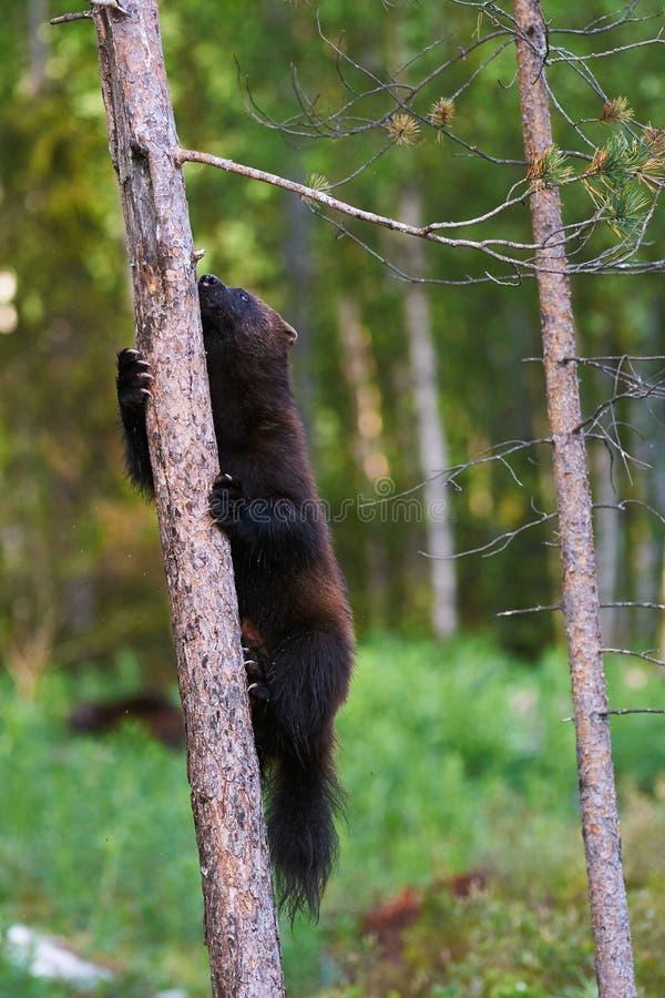 Αδηφάγος σε ένα δέντρο στοκ φωτογραφίες