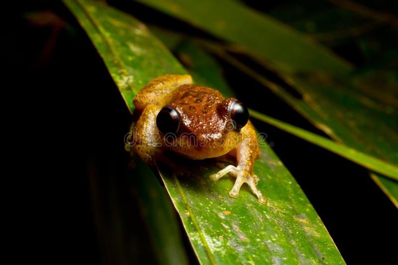 Αδιάκριτος βάτραχος υδρονέφωσης στοκ εικόνες με δικαίωμα ελεύθερης χρήσης