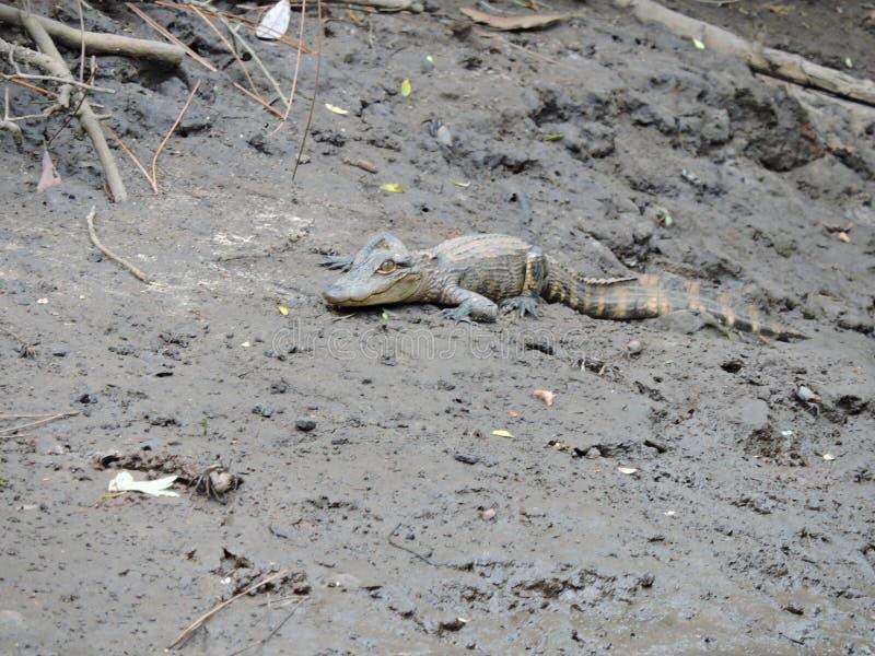 Αλλιγάτορας μωρών στη λάσπη στοκ εικόνα