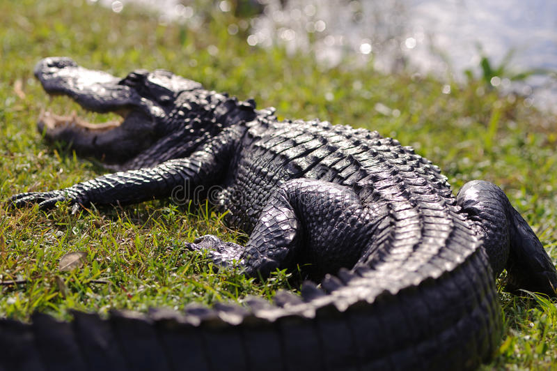 Αλλιγάτορας στο πάρκο Everglades στοκ εικόνα με δικαίωμα ελεύθερης χρήσης