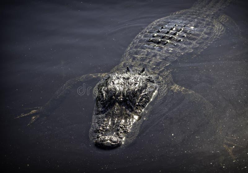 Αλλιγάτορας Everglades στοκ φωτογραφίες