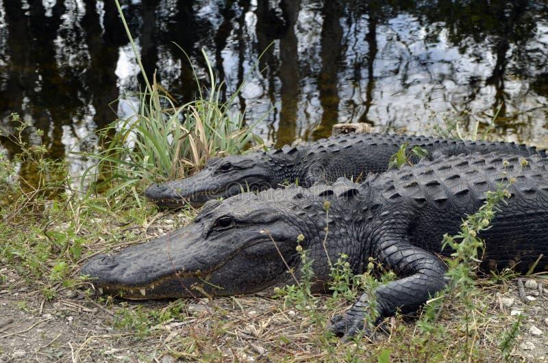 Αλλιγάτορες Everglades στοκ εικόνες