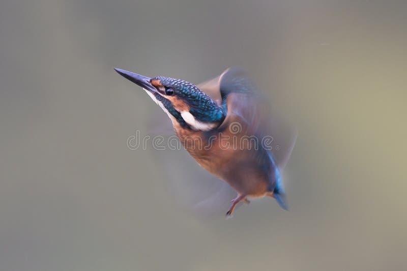 Αλκυόνη με τα φτερά στην κίνηση στοκ εικόνα με δικαίωμα ελεύθερης χρήσης