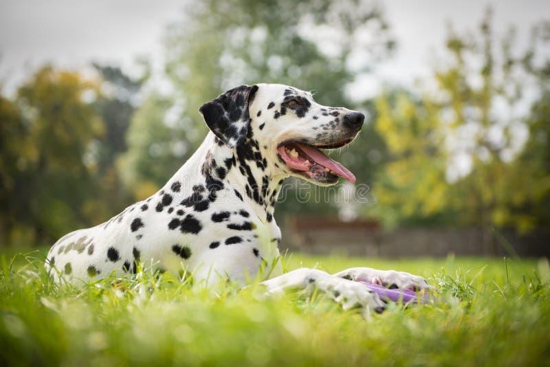 δαλματικό σκυλί στοκ φωτογραφία με δικαίωμα ελεύθερης χρήσης