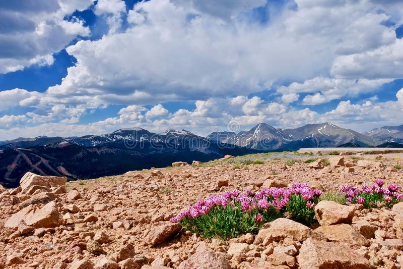 Αλπικά ρόδινα λουλούδια τριφυλλιού στα βουνά στοκ φωτογραφία με δικαίωμα ελεύθερης χρήσης