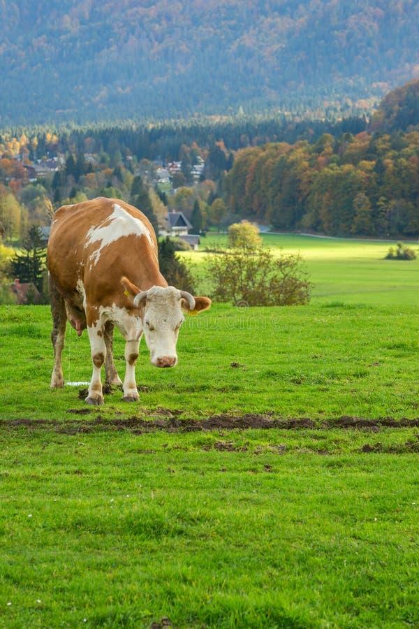 αλπικές αγελάδες που βόσκουν τα λιβάδια στοκ φωτογραφία