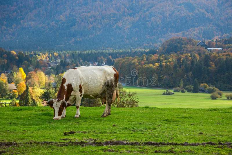 αλπικές αγελάδες που βόσκουν τα λιβάδια στοκ φωτογραφίες με δικαίωμα ελεύθερης χρήσης