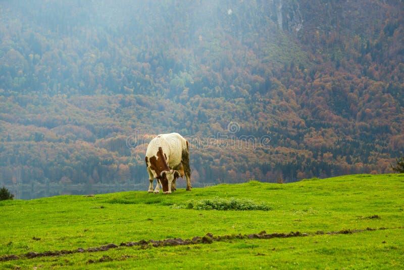 αλπικές αγελάδες που βόσκουν τα λιβάδια στοκ εικόνες