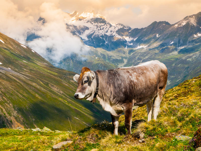 Αλπική βοσκή αγελάδων στα βουνά στοκ φωτογραφίες με δικαίωμα ελεύθερης χρήσης