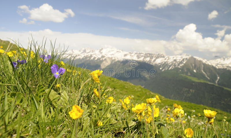 Αλπικό λιβάδι με τα λουλούδια στοκ εικόνες