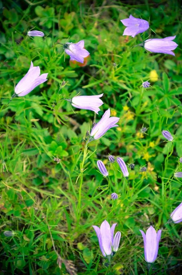 Αλπικό bellflower στα Καρπάθια βουνά στοκ εικόνα