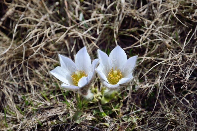 Αλπικό pasque-λουλούδι στοκ εικόνες