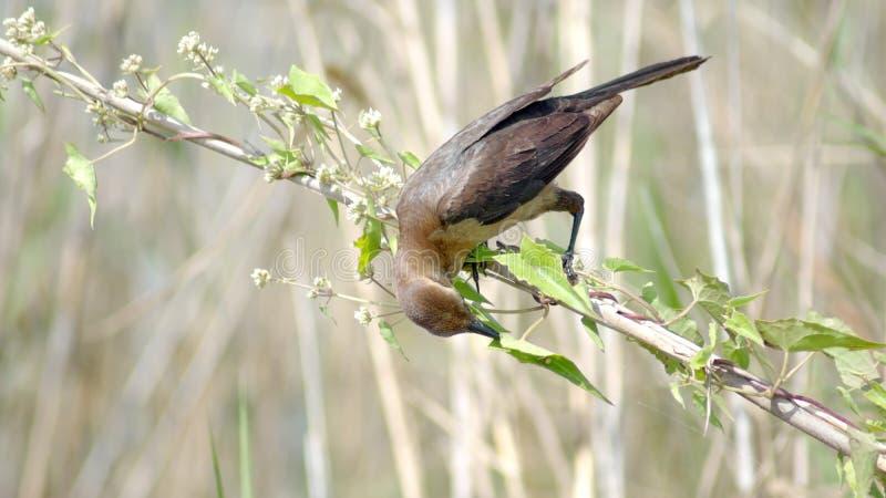 Βάρκα-παρακολουθημένος grackle στο Everglades, κατανάλωση στοκ εικόνα