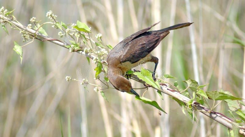 Βάρκα-παρακολουθημένος grackle στο Everglades, κατανάλωση στοκ εικόνα με δικαίωμα ελεύθερης χρήσης
