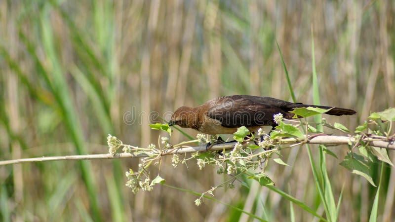 Βάρκα-παρακολουθημένος grackle στο Everglades, κατανάλωση στοκ εικόνες με δικαίωμα ελεύθερης χρήσης
