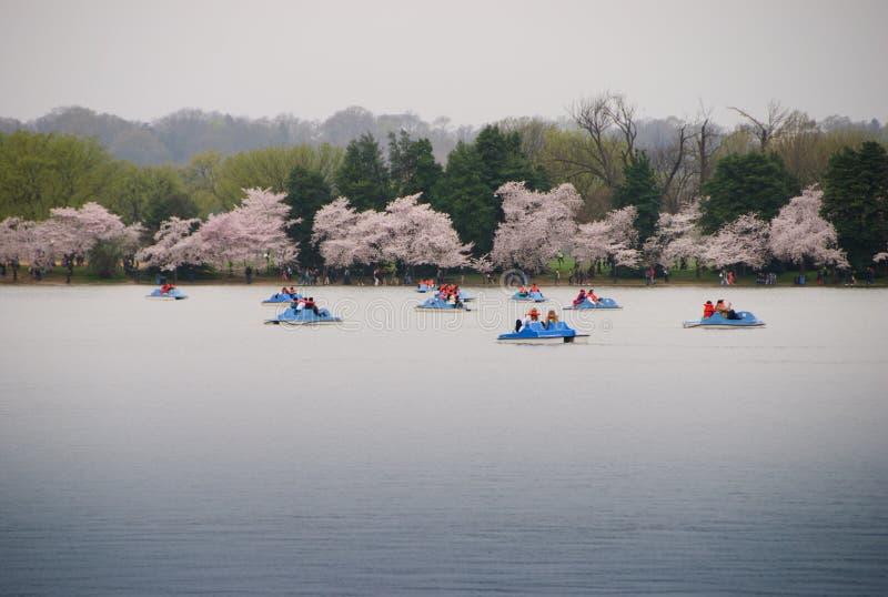 Βάρκες κουπιών στην παλιρροιακή λεκάνη με τα άνθη κερασιών στοκ εικόνες