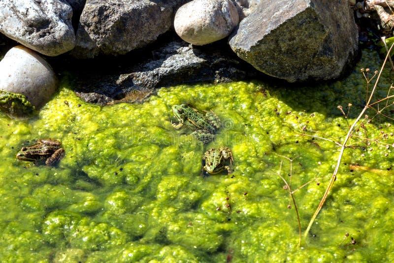 Βάτραχοι στη λίμνη στοκ εικόνα