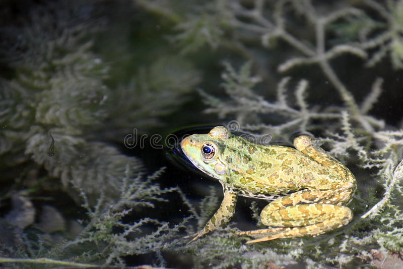 Βάτραχος έλους/ridibundus Pelophylax ή ridibunda Rana στοκ εικόνα με δικαίωμα ελεύθερης χρήσης