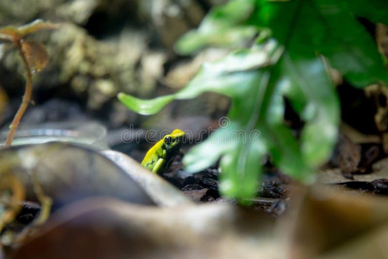 Βάτραχος βελών δηλητήριων στοκ φωτογραφίες με δικαίωμα ελεύθερης χρήσης