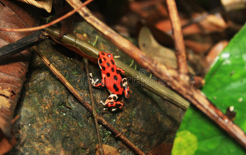 Βάτραχος δηλητήριων φραουλών στοκ εικόνες με δικαίωμα ελεύθερης χρήσης