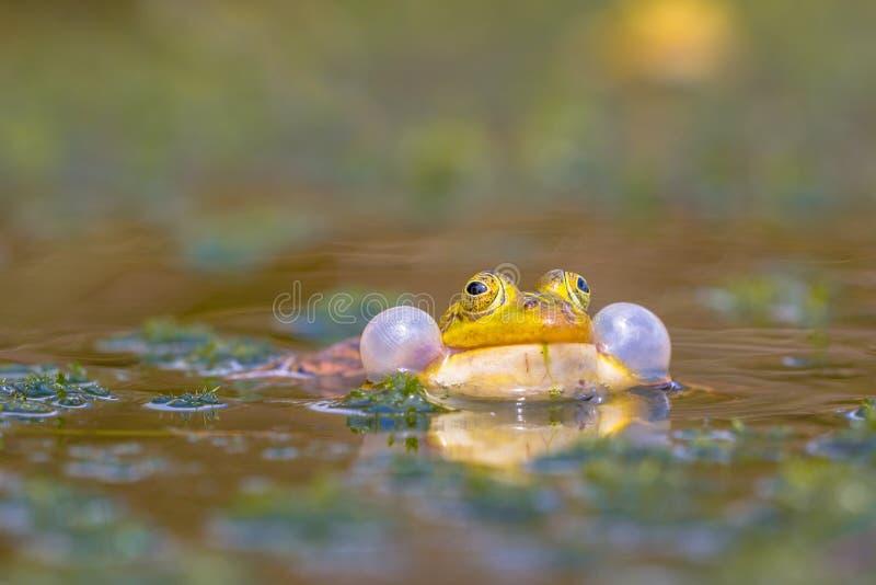 Βάτραχος λιμνών Croaking στοκ φωτογραφία με δικαίωμα ελεύθερης χρήσης