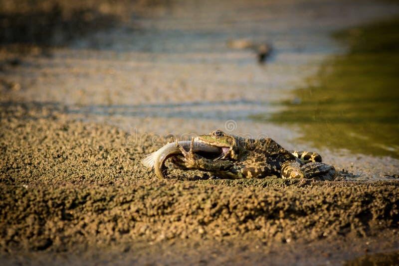 Βάτραχος και ψάρια στοκ φωτογραφία
