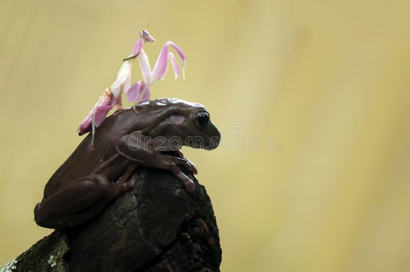 Βάτραχος και mantis στοκ εικόνα με δικαίωμα ελεύθερης χρήσης