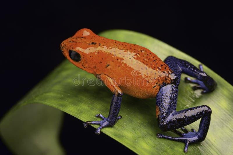 Βάτραχος Κόστα Ρίκα στοκ εικόνα με δικαίωμα ελεύθερης χρήσης