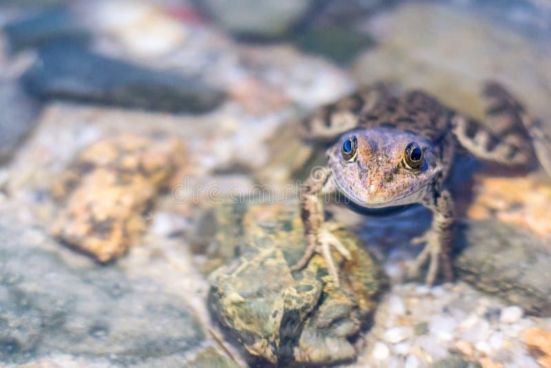 Βάτραχος λιμνών στο νερό στα πλαίσια των πετρών Κόσμος των λιμνών, στοκ φωτογραφίες με δικαίωμα ελεύθερης χρήσης