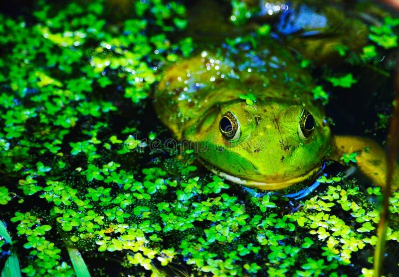 Βάτραχος νερού στοκ φωτογραφίες