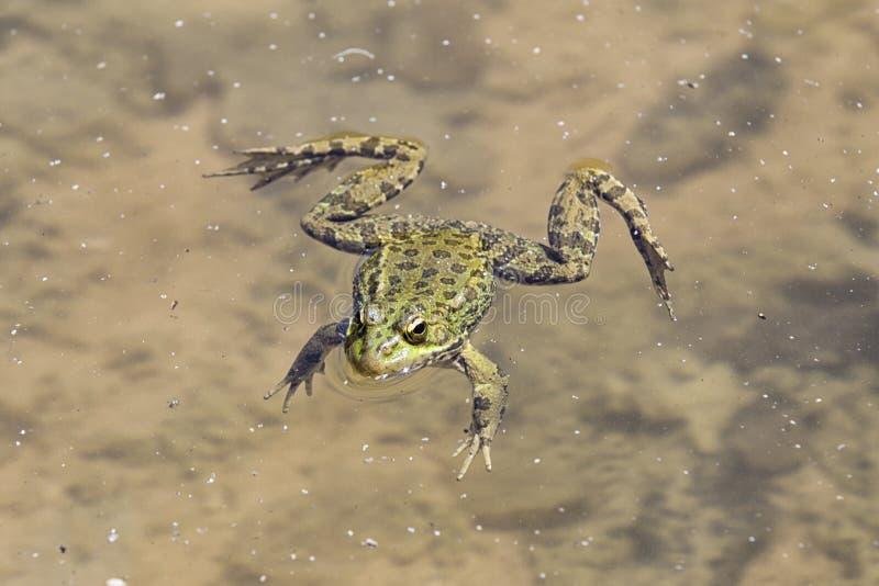 Βάτραχος που επιπλέει σε μια λίμνη στοκ φωτογραφίες