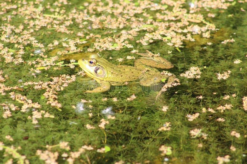 Βάτραχος που επιπλέει στη λίμνη στοκ φωτογραφία