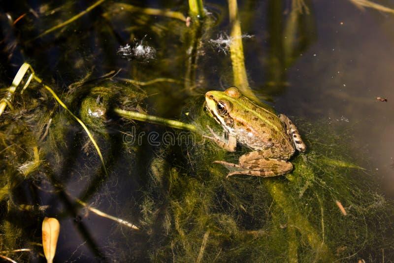 Βάτραχος σε έναν ήρεμο κολπίσκο στοκ εικόνα με δικαίωμα ελεύθερης χρήσης