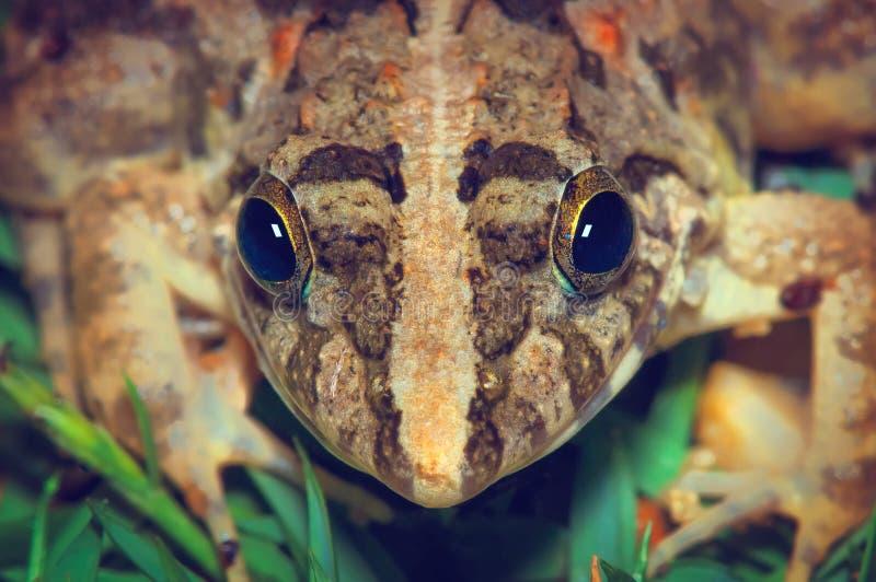 Βάτραχος σε μια πράσινη χλόη, γεωμετρικό συμμετρικό κεφάλι βατράχων στοκ εικόνα