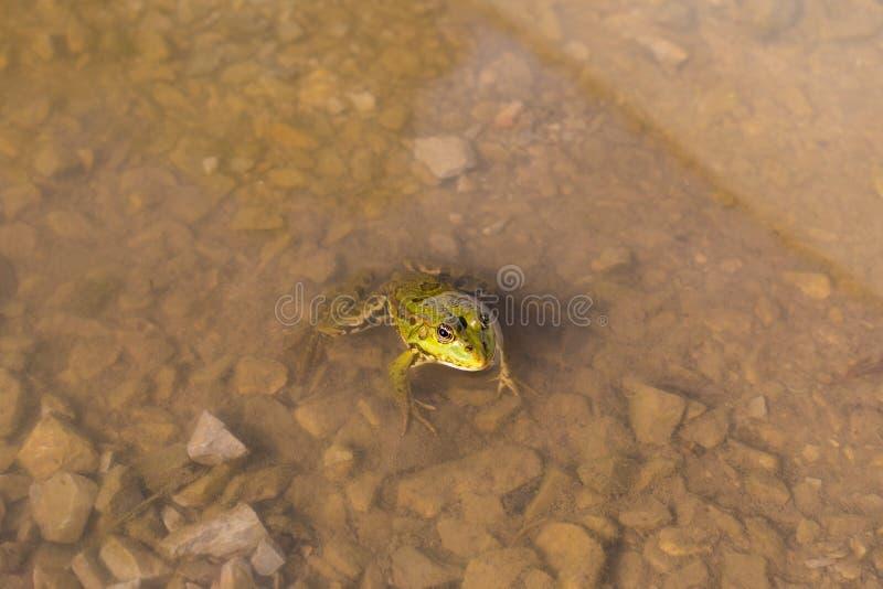 Βάτραχος στο δέλτα Δούναβη στοκ φωτογραφία