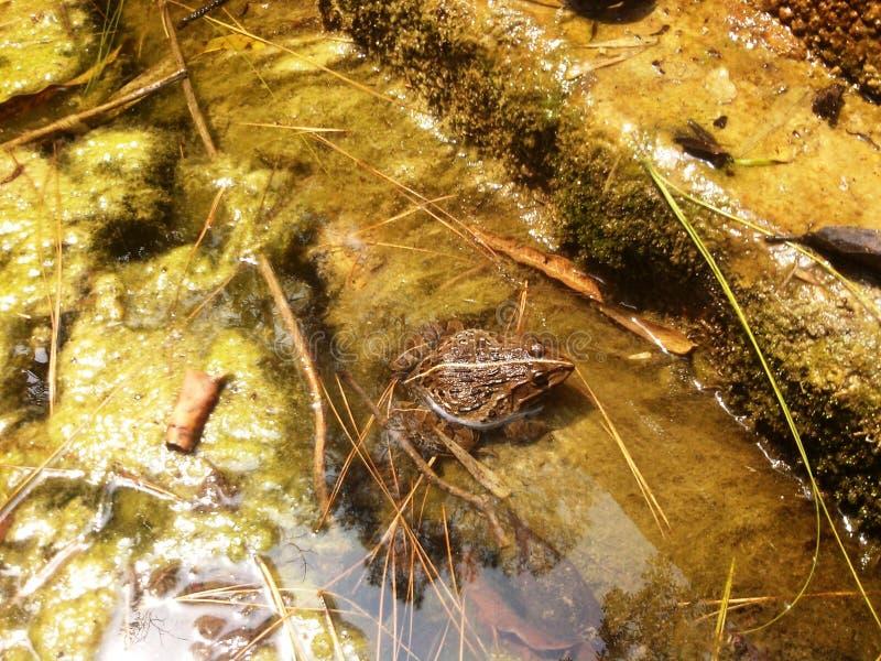 Βάτραχος στο θηλαστικό θάλασσας νερού στοκ εικόνες με δικαίωμα ελεύθερης χρήσης
