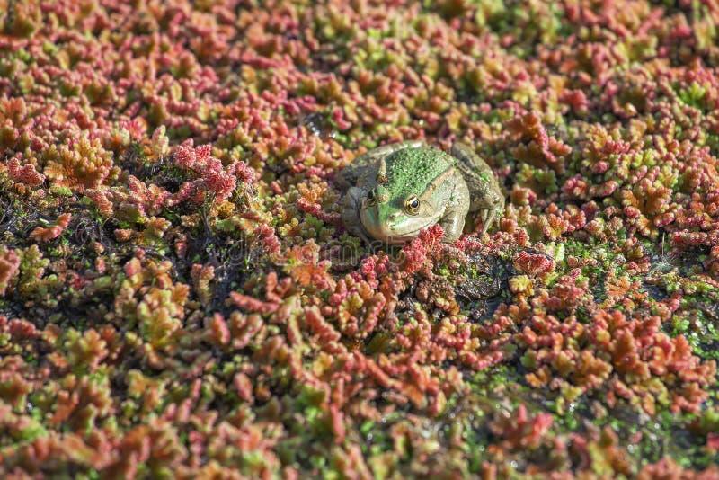 Βάτραχος στο φυκώδη αφρό, θολωμένες υδρόβιες εγκαταστάσεις στοκ εικόνες
