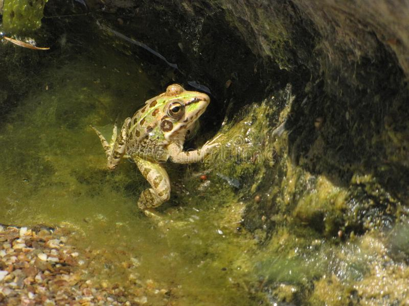 Βάτραχος στο prowl στοκ εικόνα