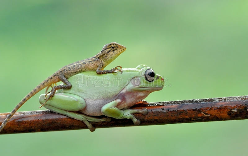 Βάτραχος τελών σαυρών στοκ φωτογραφίες με δικαίωμα ελεύθερης χρήσης
