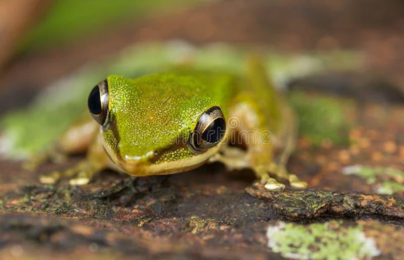 Βάτραχος Cheeked χαλκού στοκ φωτογραφίες